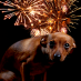 Combatting a fear of fireworks or loud noises in dogs